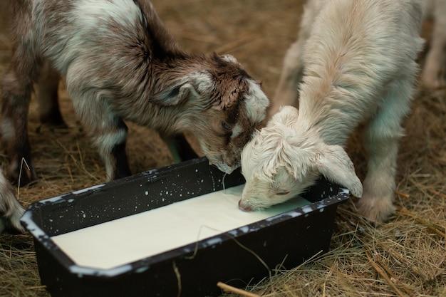 Een kleine geitenkind drinkt melk uit de drinkbak