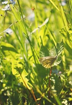 Een kleine gele koolvlinder verstopte zich in het gras.