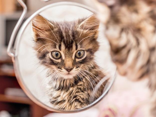 Een kleine gestreepte kitten kijkt in de spiegel. reflectiekittens in de spiegel