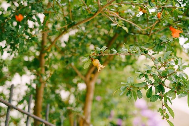 Een kleine granaatappelvrucht op een boomtak rode bloemen van een bloeiende boom