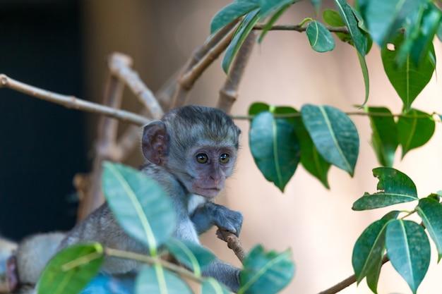 Een kleine grappige aap speelt op de grond of in de boom