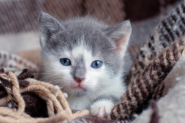 Een kleine grijze kat gewikkeld in een plaid. voor huisdieren zorgen