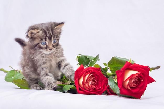 Een kleine, grijze pluizige kitten in de buurt van rode rozen