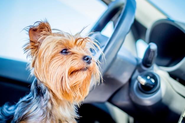 Een kleine harige hond van het ras yorkshire terriers in het auto-interieur te wachten op de eigenaar.