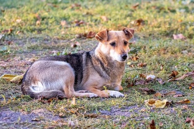 Een kleine hond ligt in de herfst in de tuin op het gras
