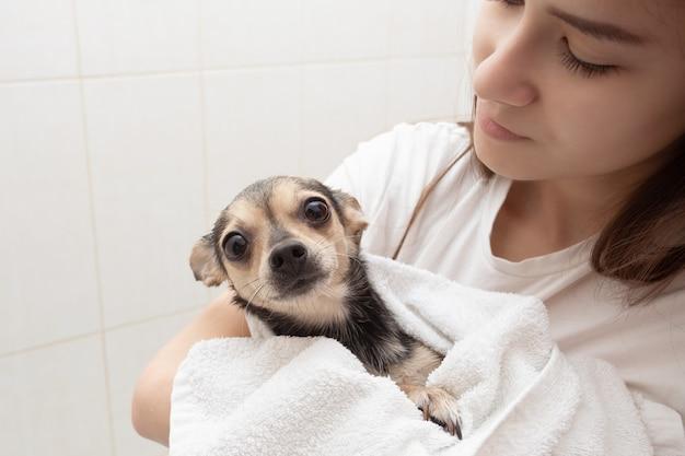 Een kleine hond na het baden in een handdoek in de handen van haar meesteres kijkt bang met grote ogen