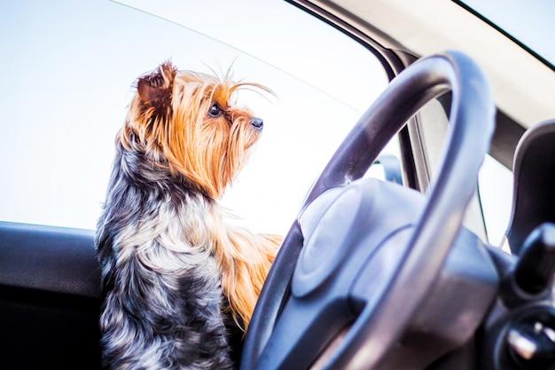 Een kleine hond van het ras yorkshire terrier in de auto wacht op de eigenaar
