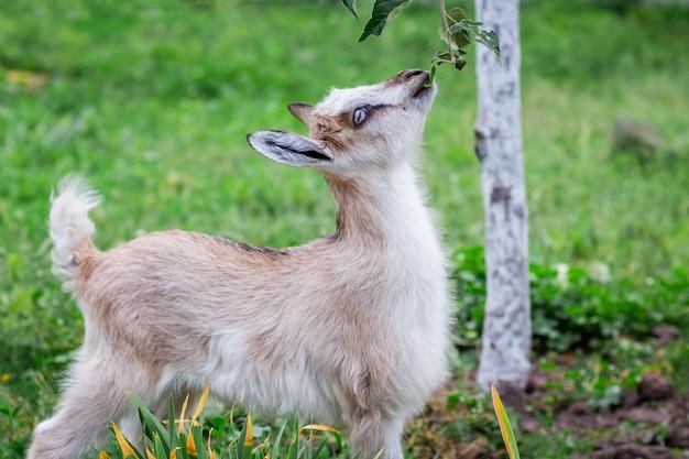 Een kleine hongerige geit eet bladeren van een boomtak. de geit is op zoek naar voedsel voor de lunch_