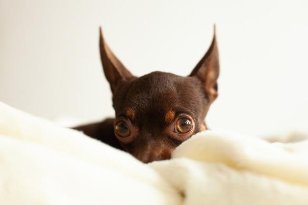 Een kleine huishond, ras terrier, bruin van kleur, ligt op een lichte deken, lief en lui
