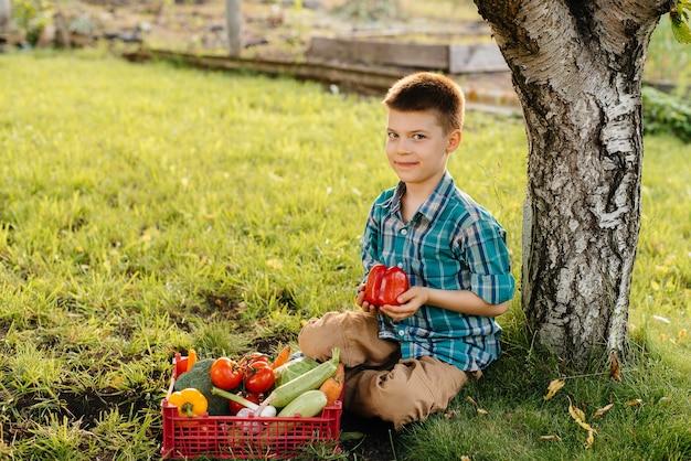 Een kleine jongen zit bij zonsondergang onder een boom in de tuin met een hele doos rijpe groenten. landbouw, oogsten. milieuvriendelijk product.