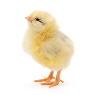 Een kleine kip geïsoleerd op een witte achtergrond