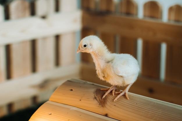 Een kleine kip staat op het dak van zijn huis en koestert zich in de zon.