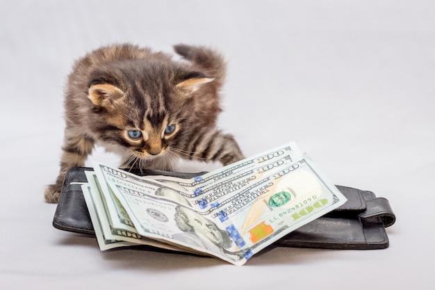 Een kleine kitten in de buurt van een tas en dollars. een kitten kijkt nieuwsgierig naar geld. verrassend veel geld