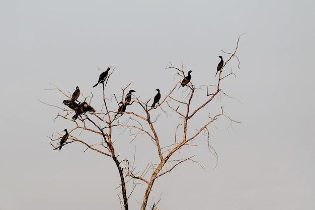 Een kleine kudde kleine aalscholvers zit op een droge boom tegen de lucht
