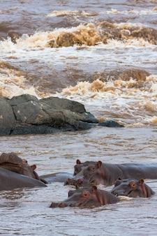 Een kleine kudde nijlpaarden aan de rivier de mara. masai mara, kenia