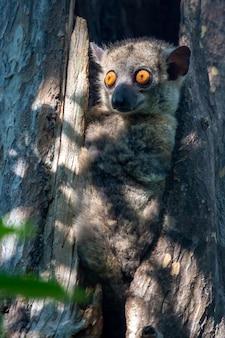 Een kleine maki verborg zich in de holte van een boom en kijkt toe