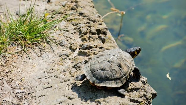 Een kleine meerschildpad die op een steen bij de vijver rust