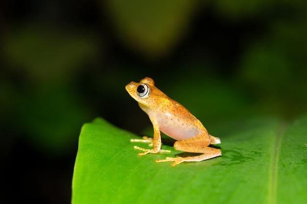 Een kleine oranje kikker zit op een blad