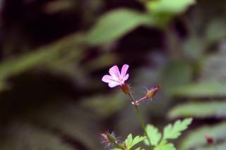 Een kleine paarse bloem