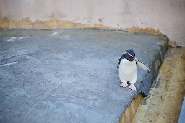 Een kleine pinguïn in asahiyama-dierentuin, asahikawa, hokkaido, japan.