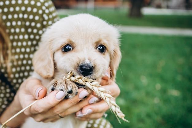 Een kleine pup ligt in de handen van de eigenaar en knaagt aan een stengel tarwe