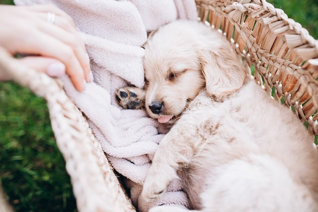 Een kleine pup ligt in een close-up van een strooien mand