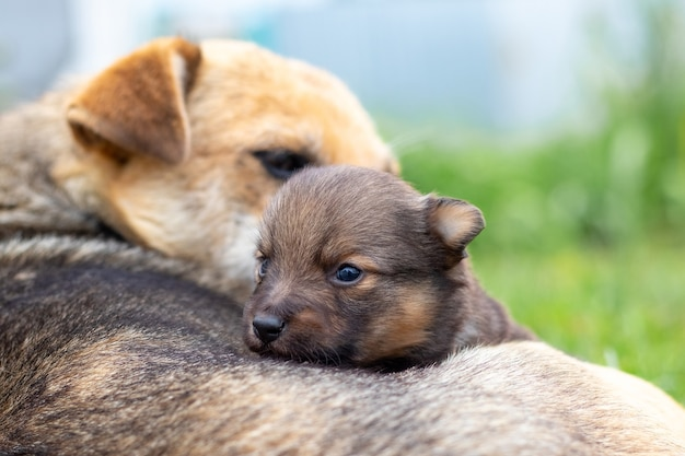 Een kleine puppy naast zijn moederhond, de hond zorgt voor zijn baby