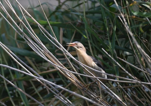 Een kleine roerdompmannetje in zijn natuurlijke habitat
