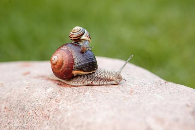 Een kleine slak zit op een grote slak die op een rots kruipt