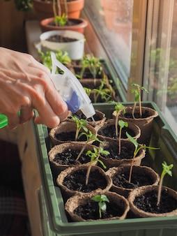 Een kleine spruit in een turfpot. kieming van zaden in het voorjaar. sproeien van zaailingen. water geven van plantaardige gewassen.