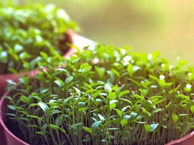 Een kleine spruit in een turfpot. kieming van zaden in het voorjaar.