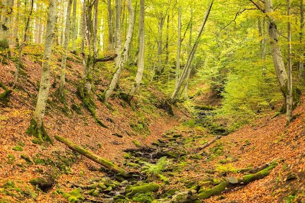 Een kleine stroom in de herfst beukenbos. de gevallen bladeren. oude logboeken en rotsen bedekt met mos.