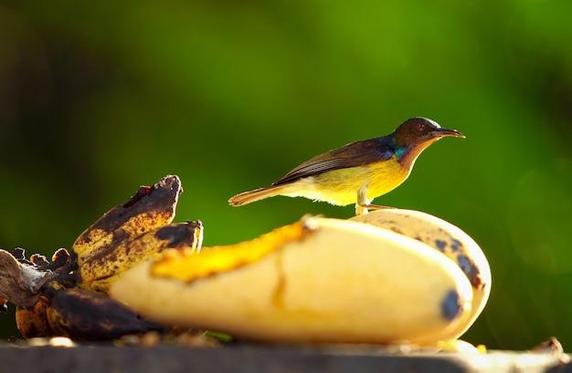 Een kleine vogel die en geel mangofruit zich bevindt eet op boom