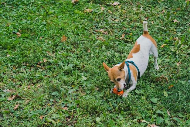 Een kleine witte en bruine hond speelt met oranje bal op het gras