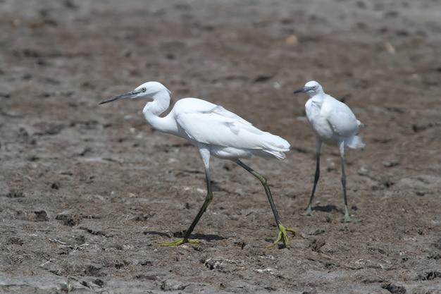 Een kleine witte reiger loopt langs het moeras onder toezicht van zijn rivaal