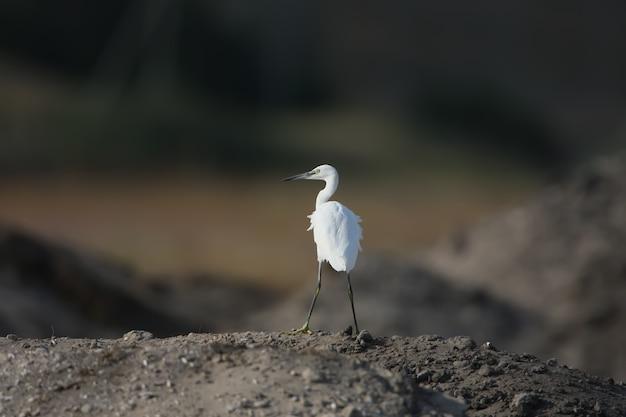 Een kleine witte reiger staat alleen op een heuvel