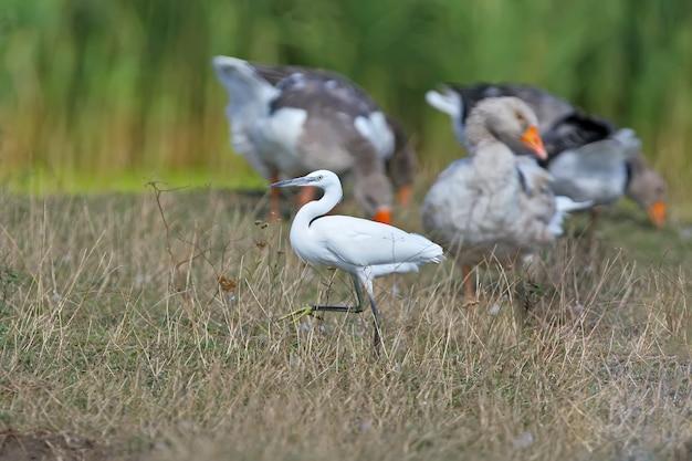 Een kleine witte reiger wandelt langs de oever van de rivier tussen een zwerm tamme ganzen