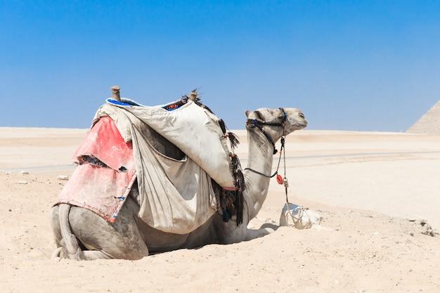Een kleurrijk gezadelde kameel wacht