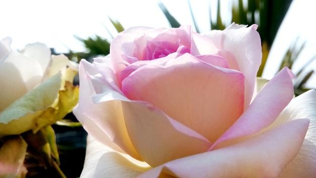Een kleurrijke, mooie, delicate roos in de tuin