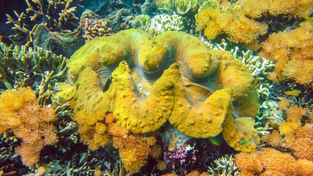 Een kleurrijke reuzenschelp tridacna gigas groeit in het ondiepe water van raja ampat, indonesië.