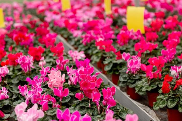Een kleurrijke verscheidenheid van cyclaam bloeit in bloesem in serre. cyclamens met groene bladeren in potten. tuinieren concept