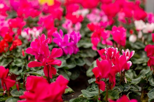 Een kleurrijke verscheidenheid van cyclaam bloeit in bloesem in serre. sluit cyclamens met groene bladeren in potten omhoog. tuinieren concept
