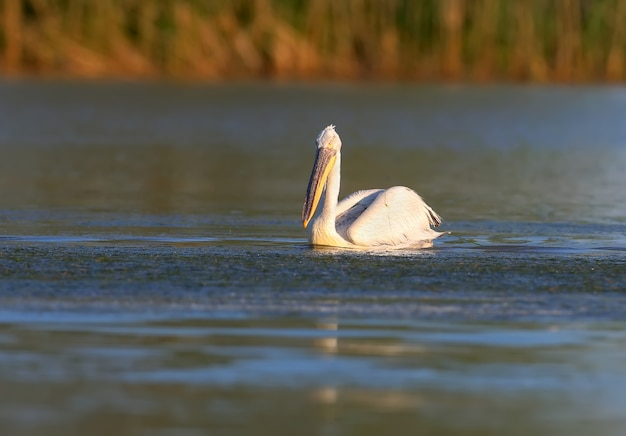 Een knappe dalmatische pelikaan zwemt in het blauwe water van de donau.