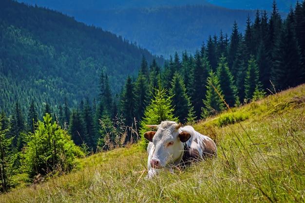 Een koe die op berghellingen weidt. het concept van milieuvriendelijke producten. eco-melk