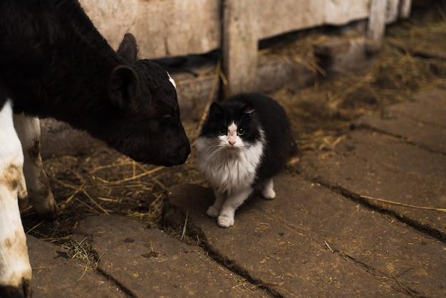 Een koe likt een kat op een boerderij. kat bewaakt stieren