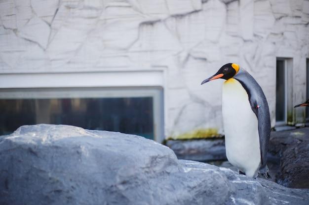 Een koningspinguïn in asahiyama-dierentuin, asahikawa, hokkaido, japan.