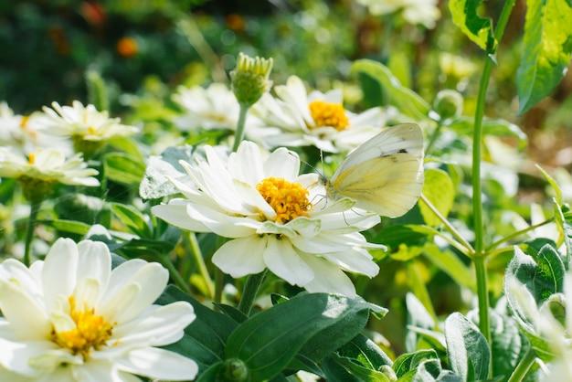 Een koolwitje zit op een witte bloem van zinnia in een de zomertuin