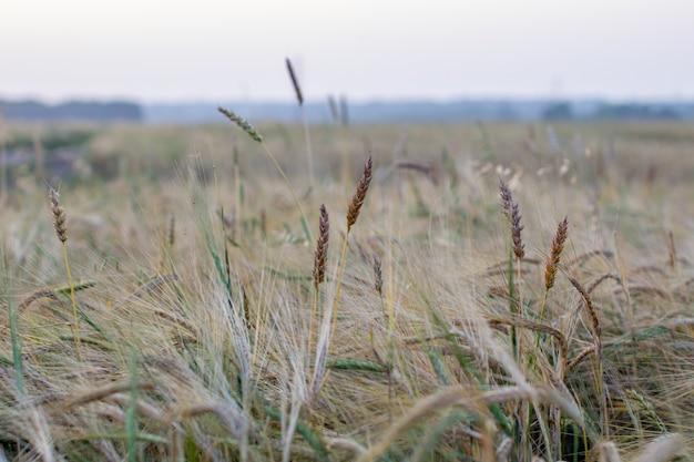Een korenaar of rogge in het veld. een veld met rogge tijdens de oogstperiode.