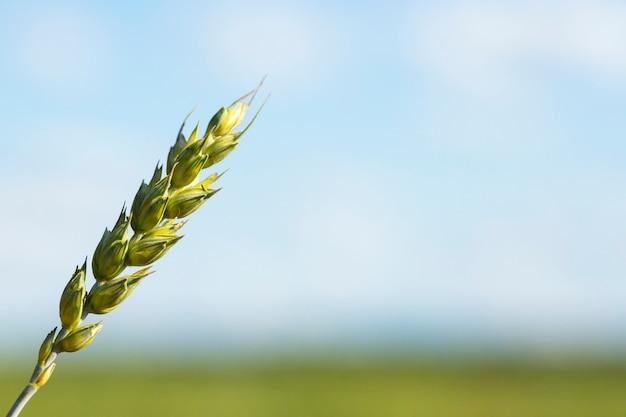 Een korenaar op een wazige natuurlijke achtergrond van de weide en de lucht. het concept van landbouw en oogsten. een plek voor uw tekst.