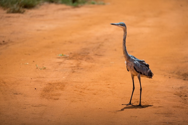 Een kraanvogel staat op rode aarde in de savanne